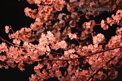 夜桜散歩1