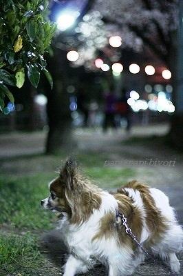 夜桜散歩★ぱぴ