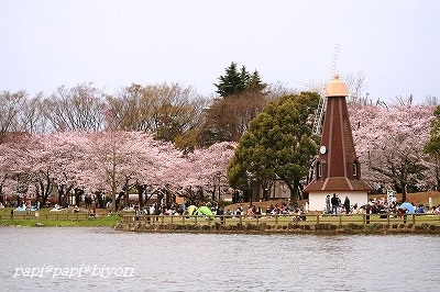 Cherry blossom viewing3