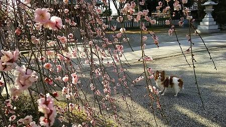 枝垂れ梅★2015