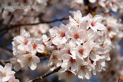 青空と桜♪2015