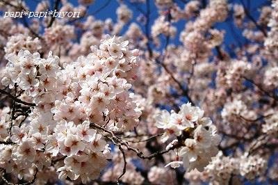 青空と桜@2015