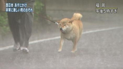 ずぶ濡れの柴犬を散歩させる福岡の男性(NHK)