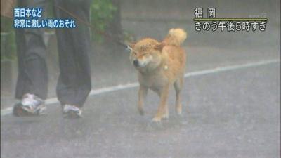 ずぶ濡れの柴犬を散歩させる福岡の男性「きのう」表示(NHK)