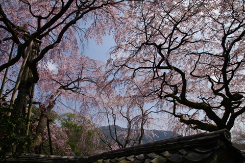 daigoji醍醐寺1 (2)-20140329-133247