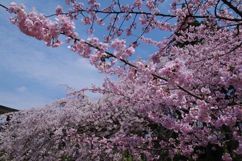 daigoji醍醐寺1 (5)-20140329-134118