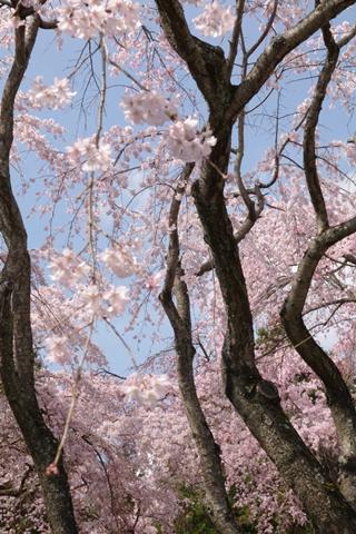 daigoji醍醐寺1 (6)-20140329-134709