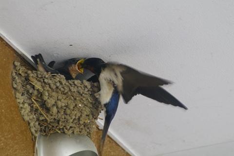 社宅の鳥 (5)-20150523
