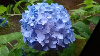 紫陽花2015