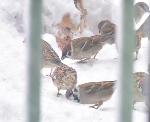 雀もがんばる1雪にほおずりしてる子がいる