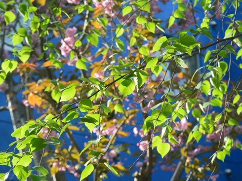 桜が散る1