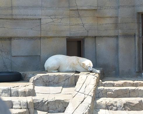 動物園 188-16しろくま