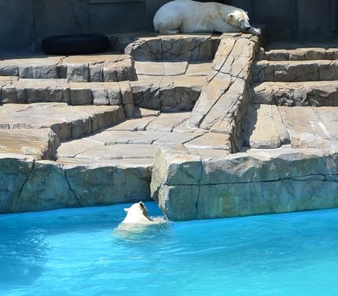 動物園 189-17しろくま