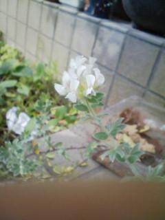 ロータスの花