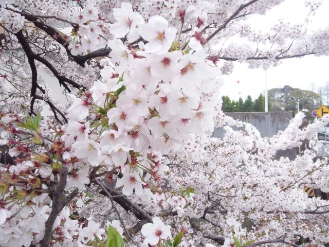 150404_桜0404