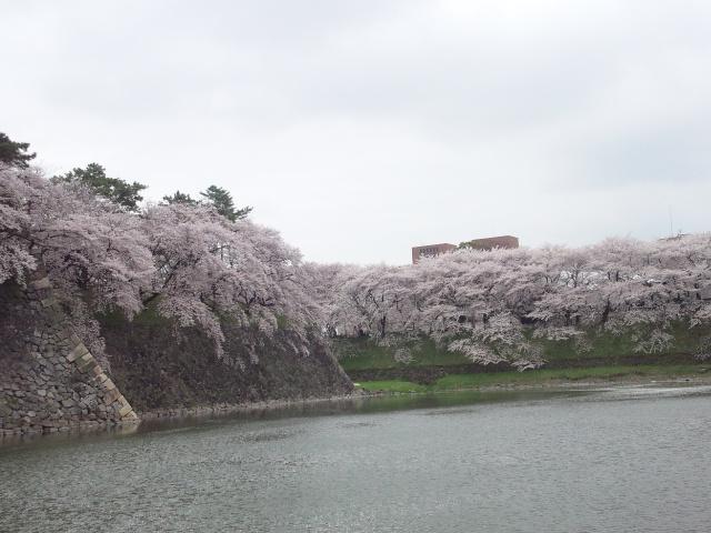 150404_城堀桜