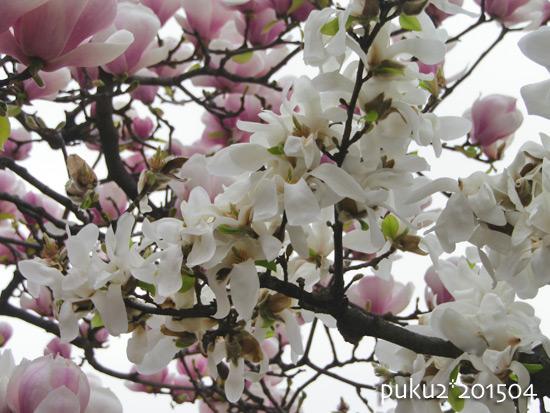 mokuren2015-04.jpg