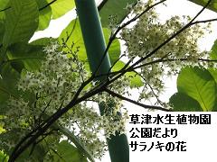 沙羅の木の花