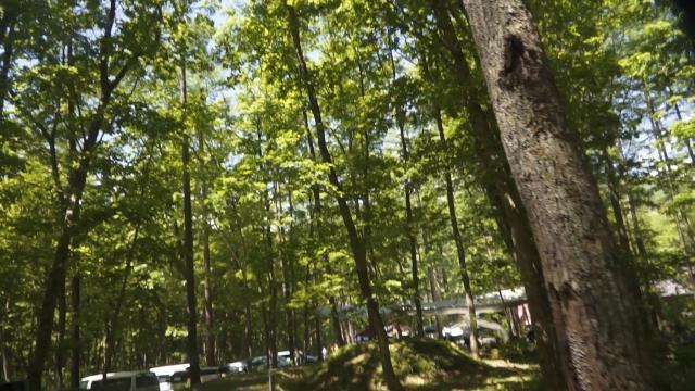 針葉樹の新緑