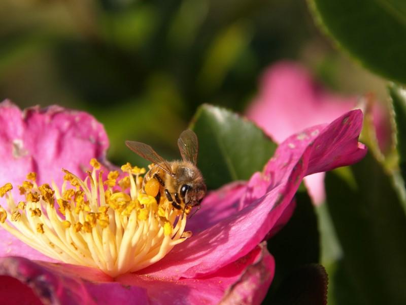 椿とミツバチ