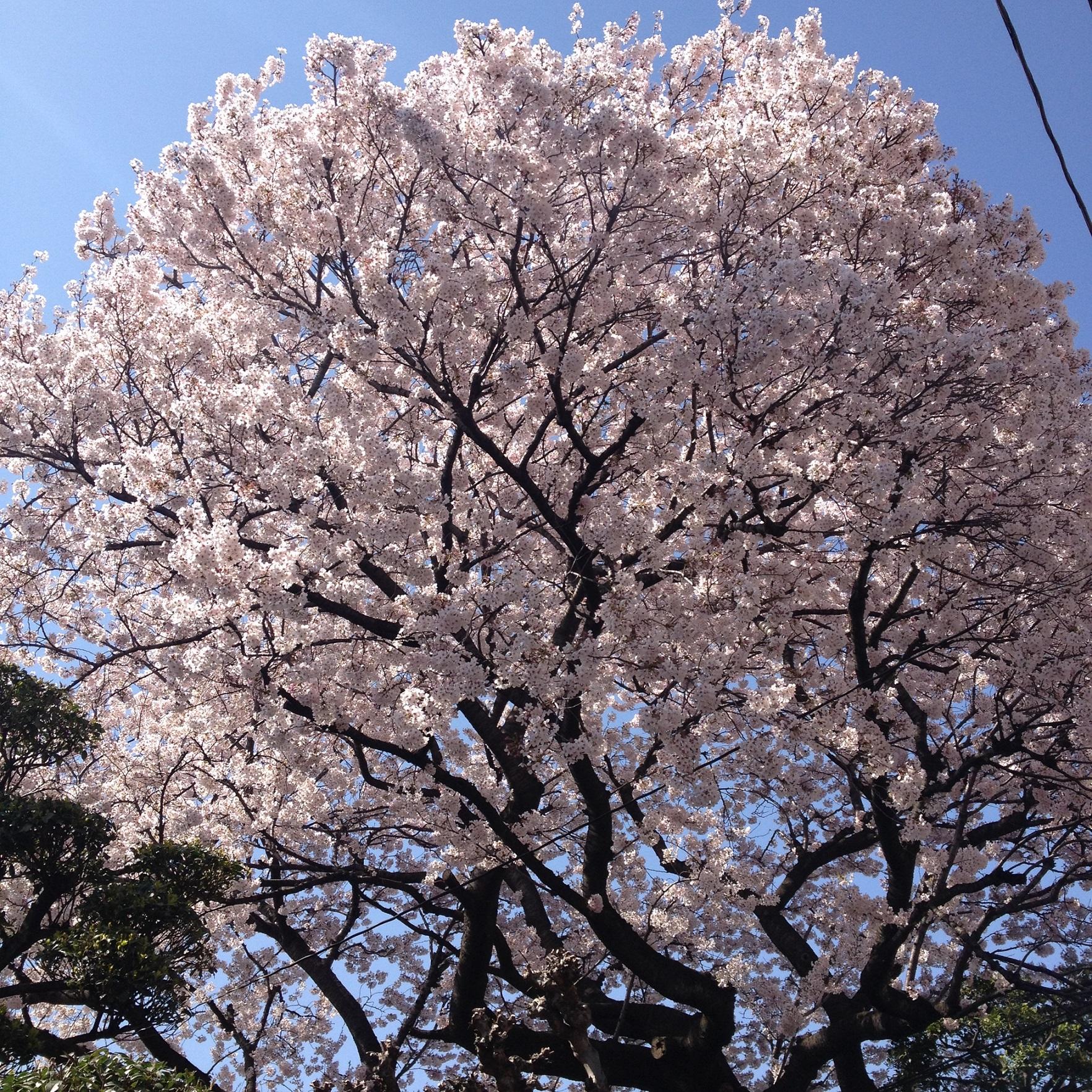 カナモリさんの桜