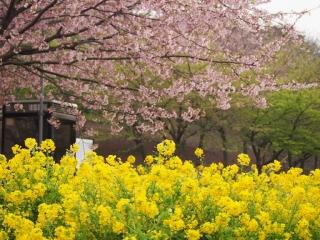 0322miuranabana6.jpg