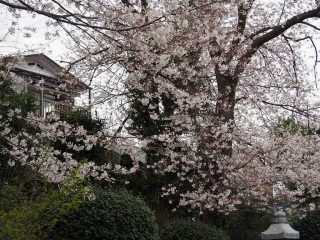 0329fumsakura15.jpg