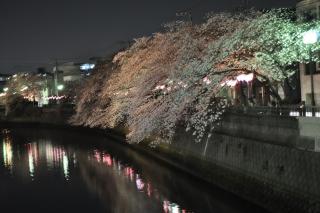0331kawayozakura6.jpg