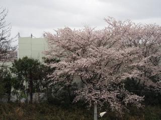 0404sakurasome1.jpg