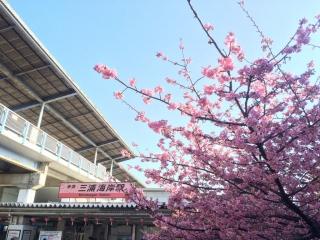 0228miura河津桜1