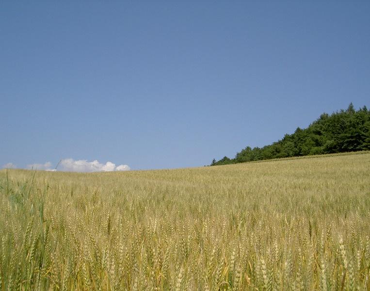 青空の麦畑