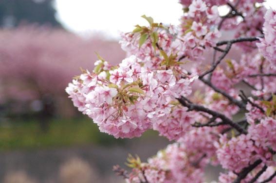 1河津桜散りまくり