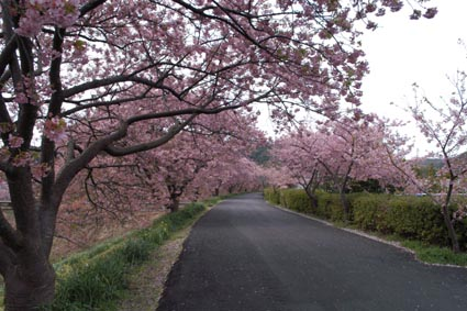 6南伊豆の河津桜