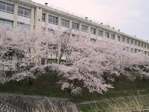 真亀小学校の桜
