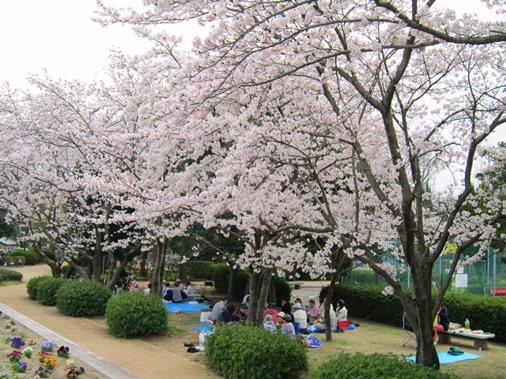 寺迫公園 桜の下