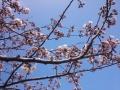 20150404_桜01