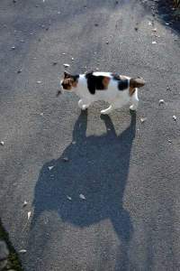 Japanese Bobtail Cat and Its Shadow