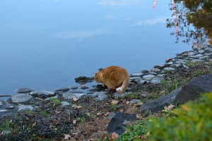 Cat Drinking Pond Water