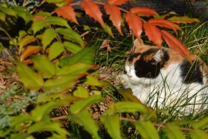 Park Cat and HiiragiNanten Leaves