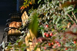 Tokyo Park Cat and Nanten Berries