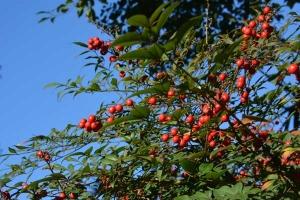 Nanten Berries