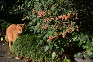 Park Cat and Nanten Bush