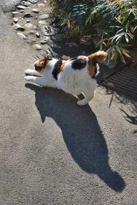 Japanese Bobtail Cat Sakura-chan
