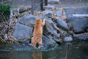 Cat After Slipping Into The Pond