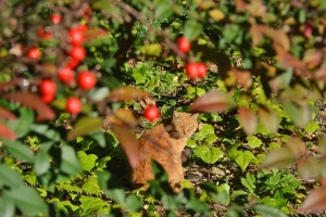 Cat and Nanten Berries