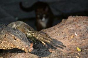 Thai Cat and Monitor Lizard, Bangkok