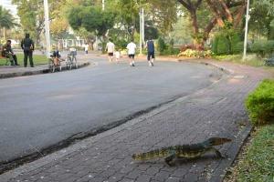 Monitor Lizard, Bangkok