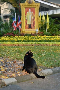 Thai Cat and a Portrait of The King of Thailand