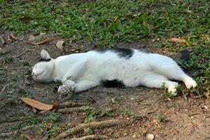 Thai Cat Sleeping Like a Log, Bangkok