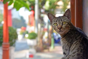 Thai Cat, Chinatown, Bangkok